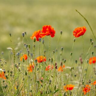 Wild flowers…#wildflowers #wildflower #flowers #romania #canonromania #outdoorphotography #countryside #countrysidewalks #pitoresque #contrysidelife #romaniamagica #romaniamagnifica #romaniapitoreasca #poppyflower #greenfields #nice #recreational #ontheroad #wildfields #flowers🌸 #flowerlovers